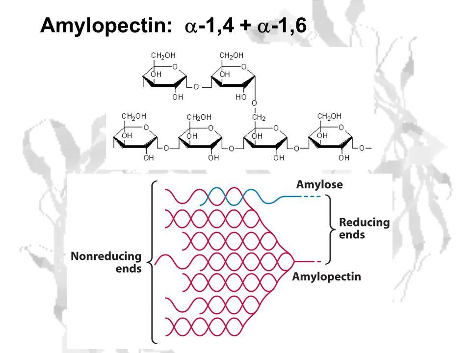 Amylopectin:  -1,4 +  -1,6