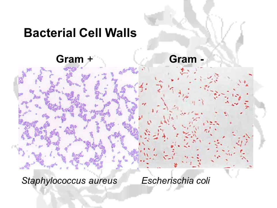 Bacterial Cell Walls Gram -Gram + Staphylococcus aureusEscherischia coli