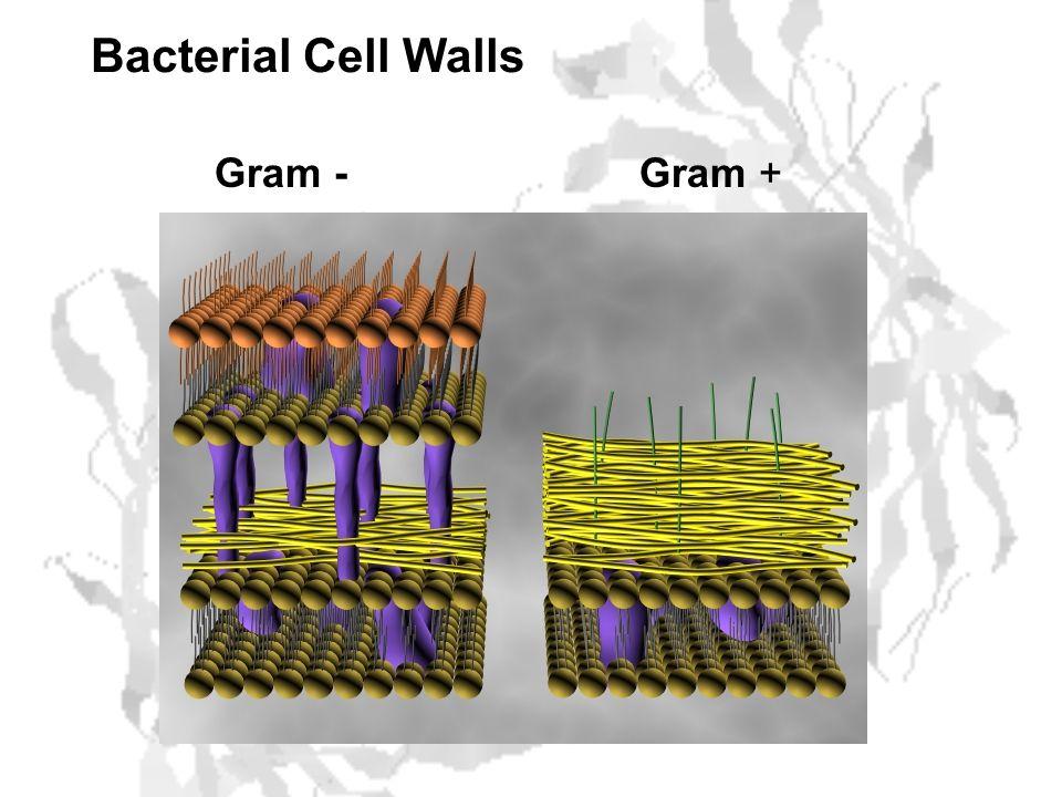 Bacterial Cell Walls Gram -Gram +