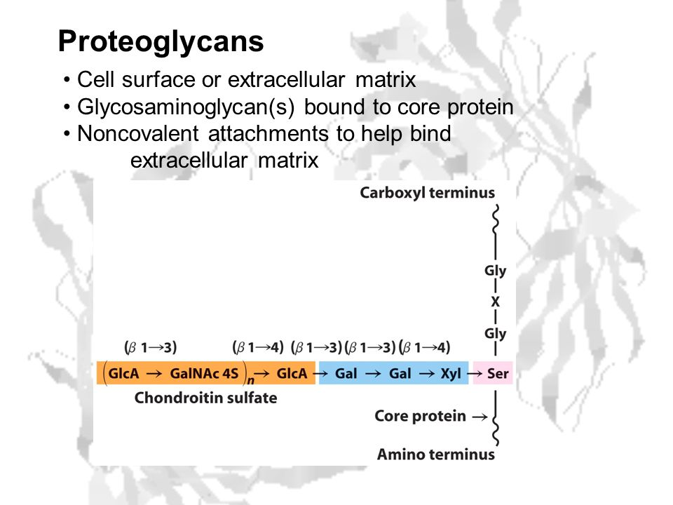 Proteoglycans Cell surface or extracellular matrix Glycosaminoglycan(s) bound to core protein Noncovalent attachments to help bind extracellular matrix