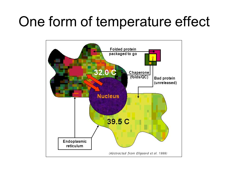 One form of temperature effect (Abstracted from Ellgaard et al. 1999) Folded protein packaged to go Bad protein (unreleased) Chaperone (folds/QC) Endo