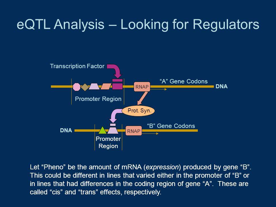 "eQTL Analysis – Looking for Regulators Promoter Region Transcription Factor ""A"" Gene Codons RNAP DNA Promoter Region RNAP ""B"" Gene Codons Prot. Syn. L"