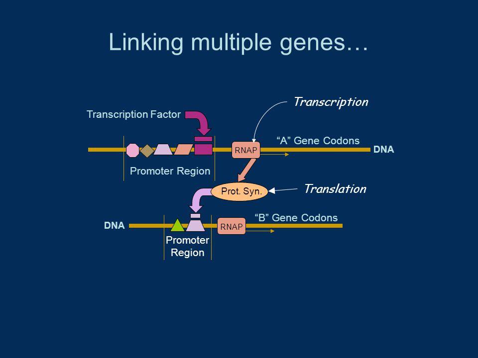 """Linking multiple genes… Promoter Region Transcription Factor """"A"""" Gene Codons RNAP DNA Promoter Region RNAP """"B"""" Gene Codons Prot. Syn. Transcription Tr"""