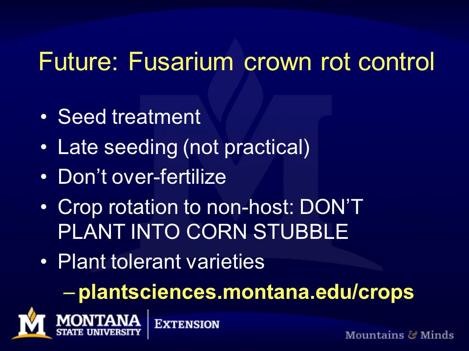 Future: Fusarium crown rot control Seed treatment Late seeding (not practical) Don't over-fertilize Crop rotation to non-host: DON'T PLANT INTO CORN S