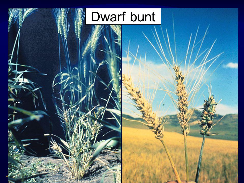 Dwarf bunt