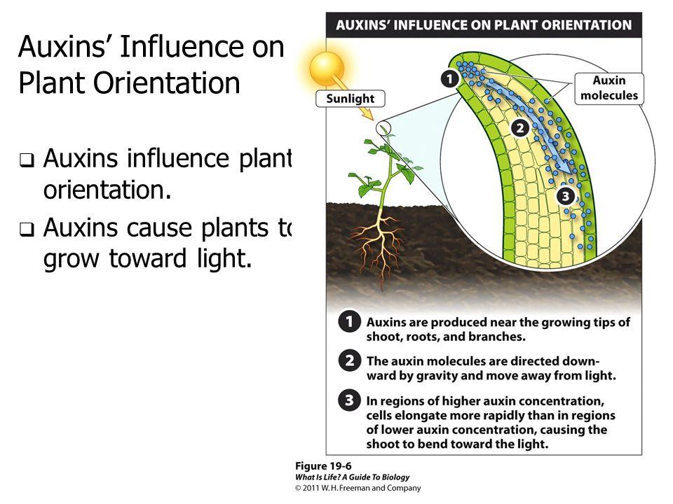Auxins' Influence on Plant Orientation  Auxins influence plant orientation.  Auxins cause plants to grow toward light.