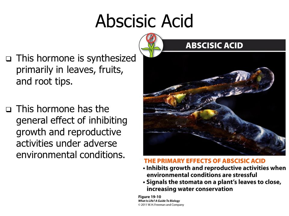 Abscisic Acid  This hormone is synthesized primarily in leaves, fruits, and root tips.  This hormone has the general effect of inhibiting growth and