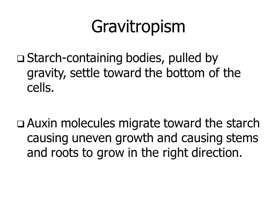 Gravitropism  Starch-containing bodies, pulled by gravity, settle toward the bottom of the cells.  Auxin molecules migrate toward the starch causing
