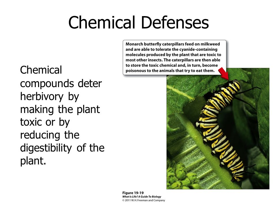 Chemical Defenses Chemical compounds deter herbivory by making the plant toxic or by reducing the digestibility of the plant.
