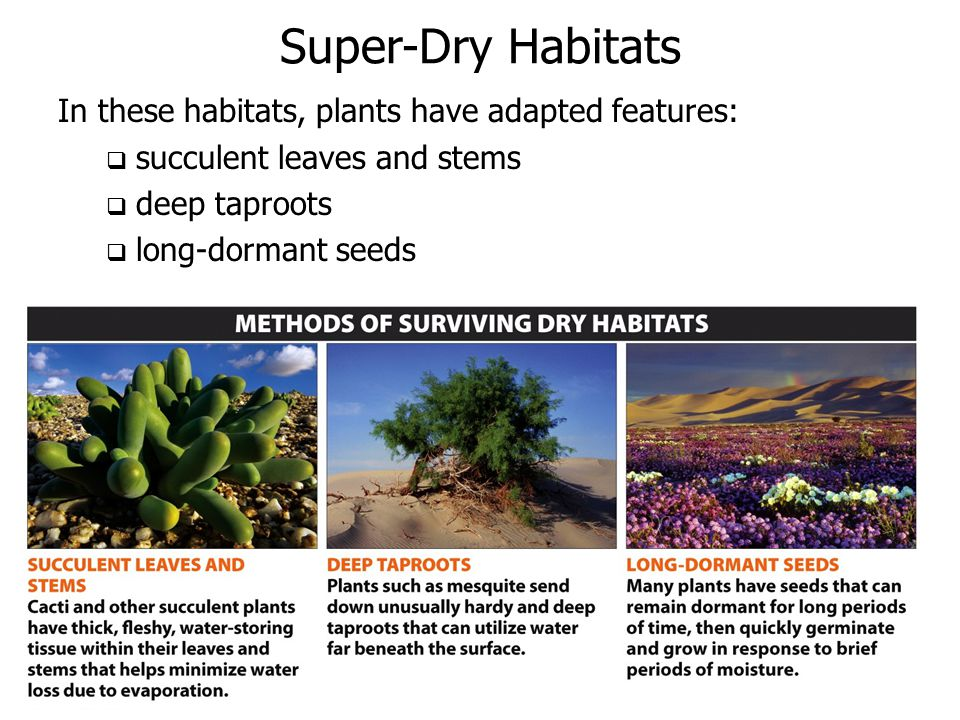 Super-Dry Habitats In these habitats, plants have adapted features:  succulent leaves and stems  deep taproots  long-dormant seeds