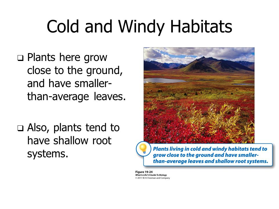 Cold and Windy Habitats  Plants here grow close to the ground, and have smaller- than-average leaves.  Also, plants tend to have shallow root system