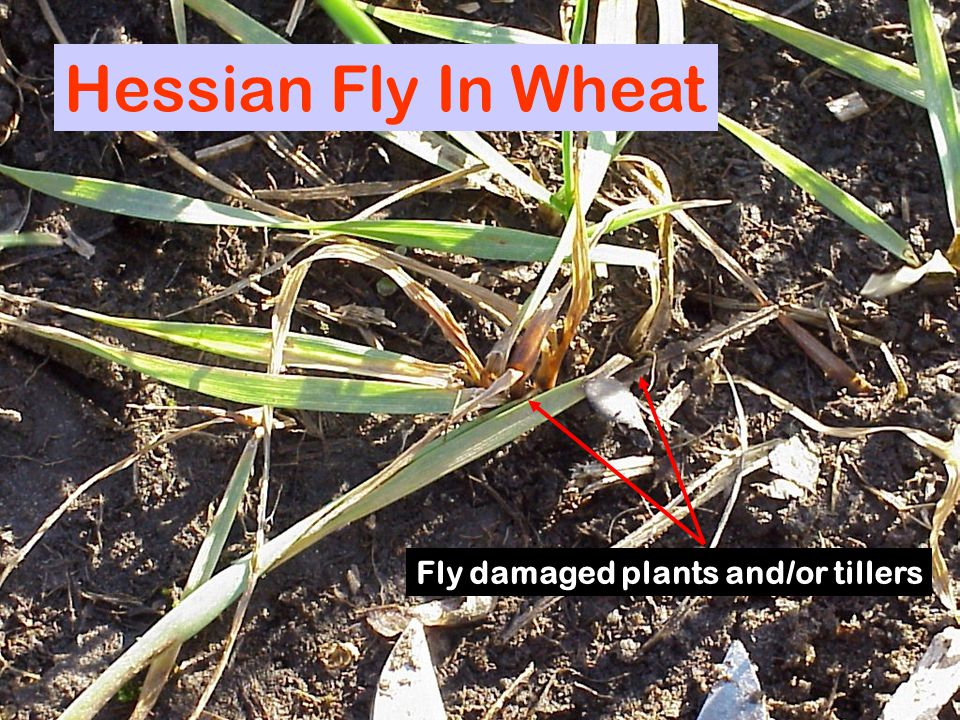 Hessian Fly In Wheat Fly damaged plants and/or tillers