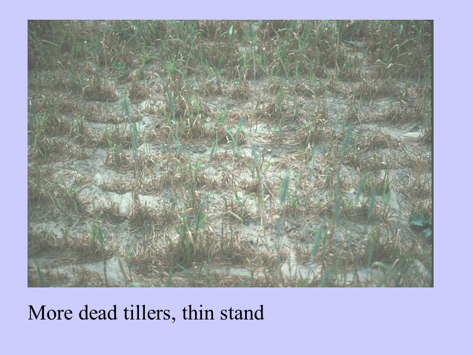 More dead tillers, thin stand