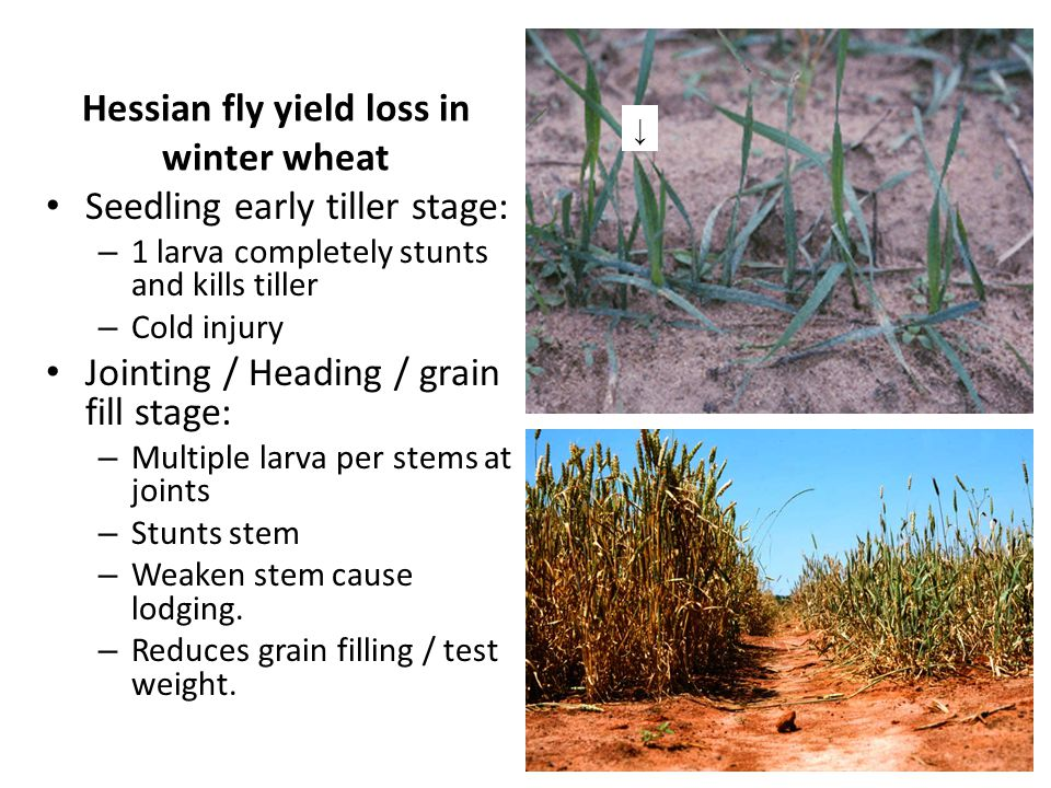 Hessian fly yield loss in winter wheat Seedling early tiller stage: – 1 larva completely stunts and kills tiller – Cold injury Jointing / Heading / grain fill stage: – Multiple larva per stems at joints – Stunts stem – Weaken stem cause lodging.