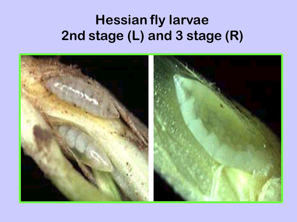 Hessian fly larvae 2nd stage (L) and 3 stage (R)