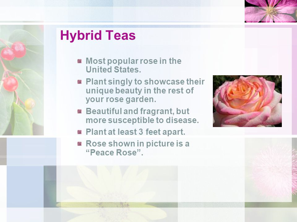 Hybrid Teas Most popular rose in the United States.