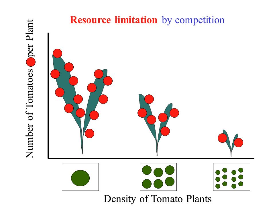 Number of Tomatoes per Plant Density of Tomato Plants Resource limitation by competition