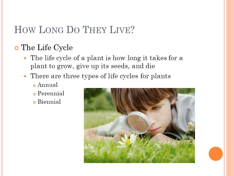 H OW L ONG D O T HEY L IVE ? The Life Cycle The life cycle of a plant is how long it takes for a plant to grow, give up its seeds, and die There are t