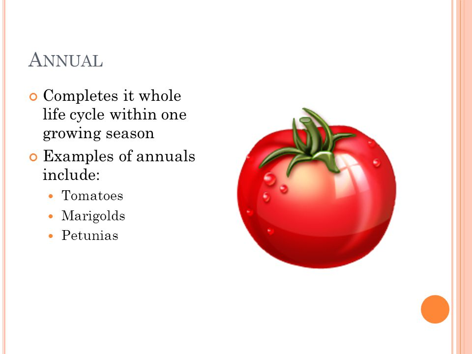 A NNUAL Completes it whole life cycle within one growing season Examples of annuals include: Tomatoes Marigolds Petunias
