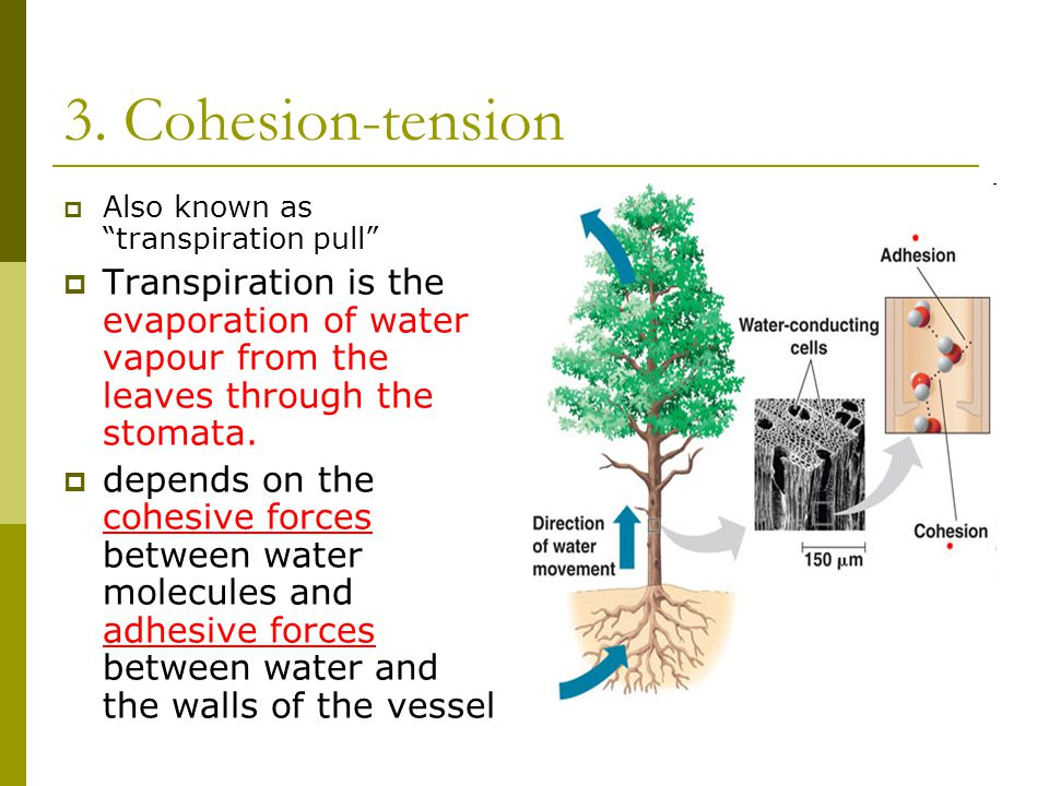 """3. Cohesion-tension  Also known as """"transpiration pull""""  Transpiration is the evaporation of water vapour from the leaves through the stomata.  dep"""