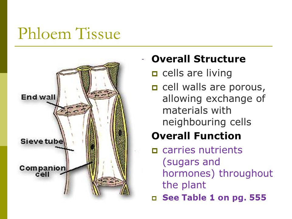 Phloem Tissue Overall Structure  cells are living  cell walls are porous, allowing exchange of materials with neighbouring cells Overall Function  carries nutrients (sugars and hormones) throughout the plant  See Table 1 on pg.