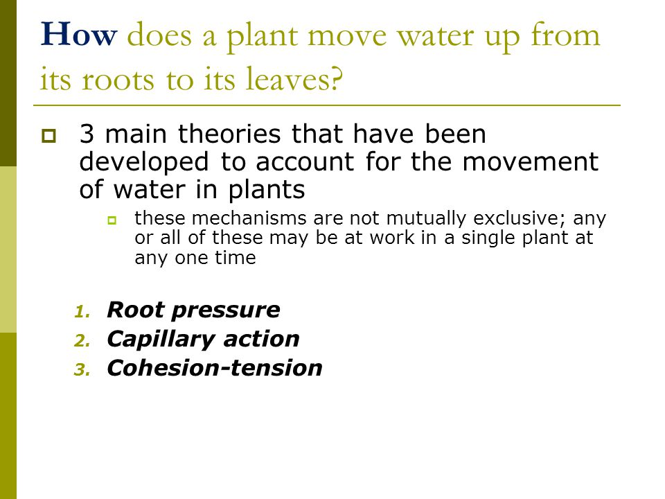 How does a plant move water up from its roots to its leaves.