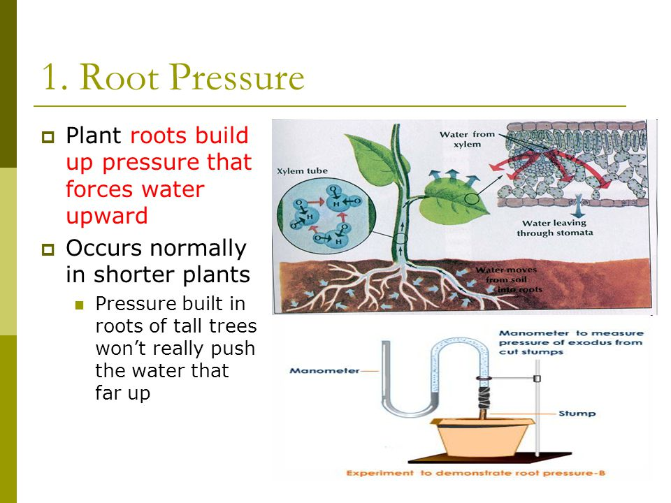 1. Root Pressure  Plant roots build up pressure that forces water upward  Occurs normally in shorter plants Pressure built in roots of tall trees wo