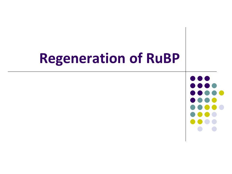 Regeneration of RuBP