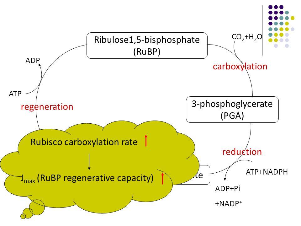 Ribulose1,5-bisphosphate (RuBP) 3-phosphoglycerate (PGA) Glyceraldehyde 3-phosphate regeneration reduction carboxylation ATP ADP ATP+NADPH ADP+Pi +NADP + CO 2 +H 2 O Rubisco carboxylation rate J max (RuBP regenerative capacity)