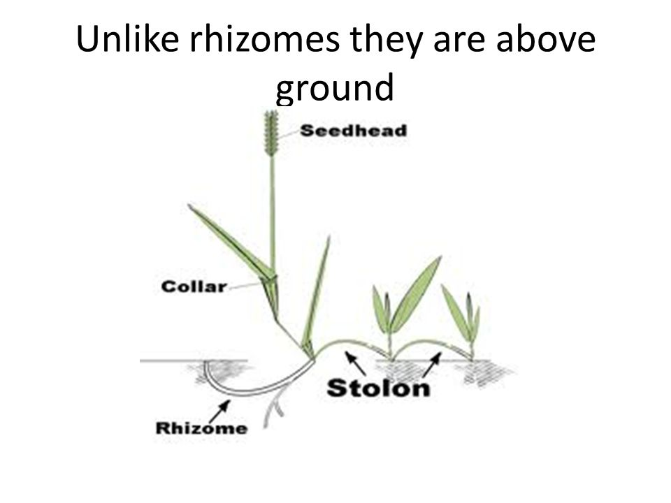 Unlike rhizomes they are above ground