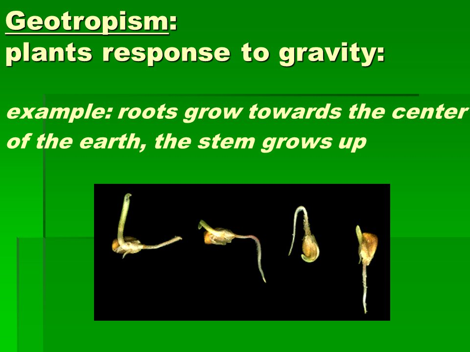 Geotropism: plants response to gravity: Geotropism: plants response to gravity: example: roots grow towards the center of the earth, the stem grows up