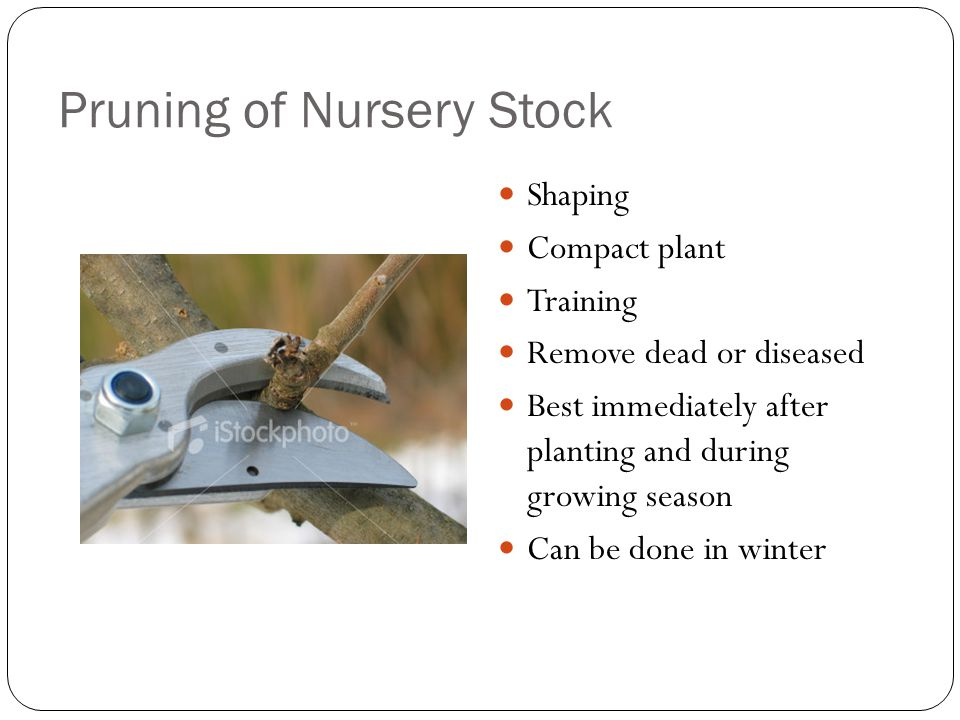 Pruning of Nursery Stock Shaping Compact plant Training Remove dead or diseased Best immediately after planting and during growing season Can be done in winter