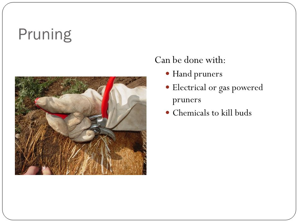 Pruning Can be done with: Hand pruners Electrical or gas powered pruners Chemicals to kill buds