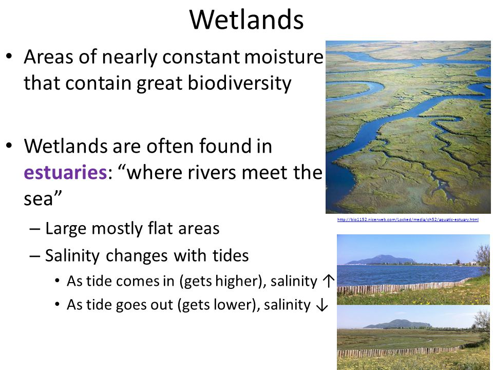 Wetlands Areas of nearly constant moisture that contain great biodiversity Wetlands are often found in estuaries: where rivers meet the sea – Large mostly flat areas – Salinity changes with tides As tide comes in (gets higher), salinity ↑ As tide goes out (gets lower), salinity ↓ http://bio1152.nicerweb.com/Locked/media/ch52/aquatic-estuary.html