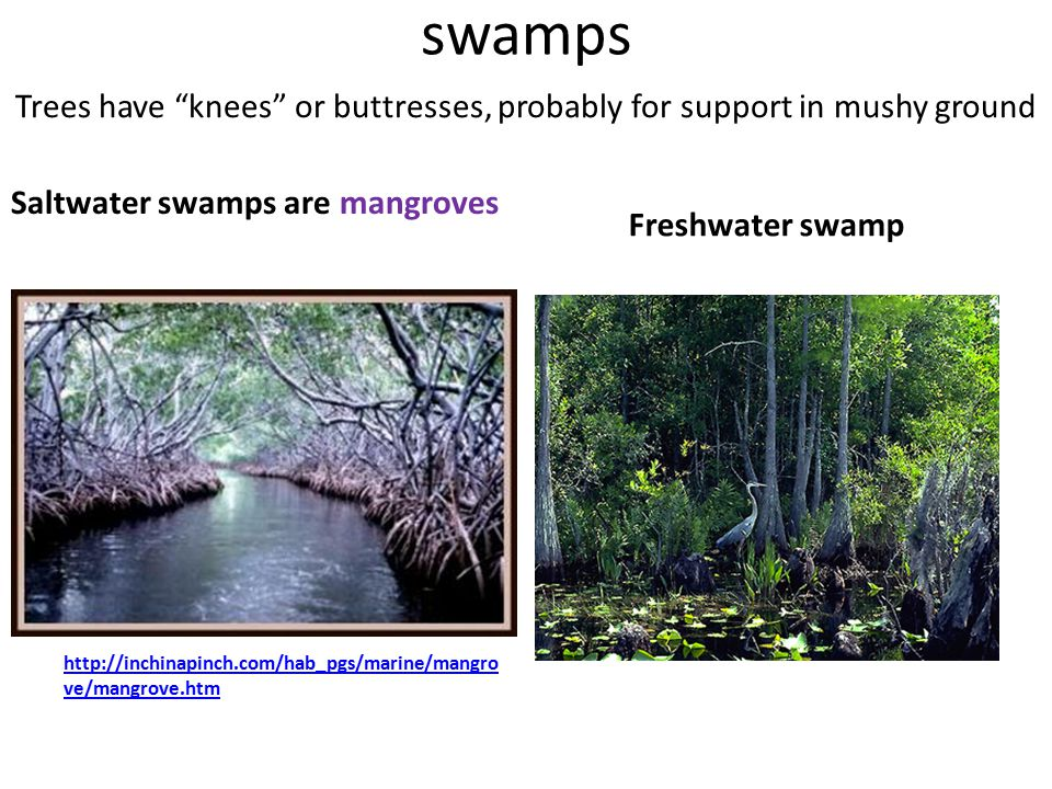 """swamps Saltwater swamps are mangroves Freshwater swamp Trees have """"knees"""" or buttresses, probably for support in mushy ground http://inchinapinch.com/"""