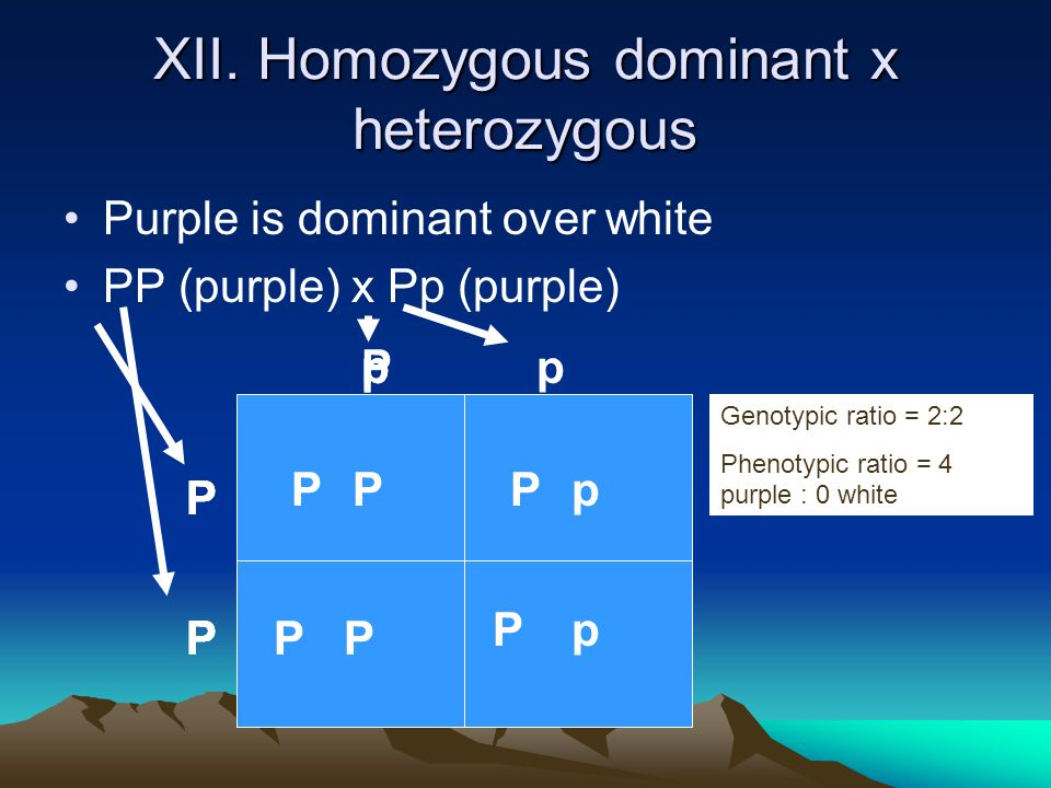 Purple is dominant over white PP (purple) x Pp (purple) P P pp PP PP pP PP P P P P p p Genotypic ratio = 2:2 Phenotypic ratio = 4 purple : 0 white XII