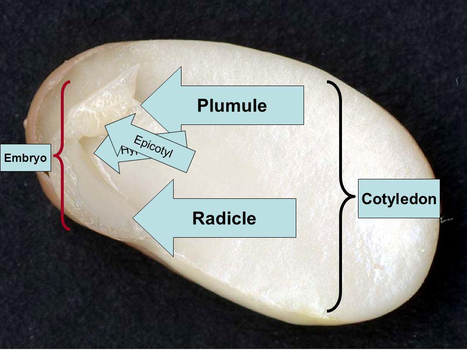 Plumule Cotyledon Embryo Hypocotyl Epicotyl Radicle