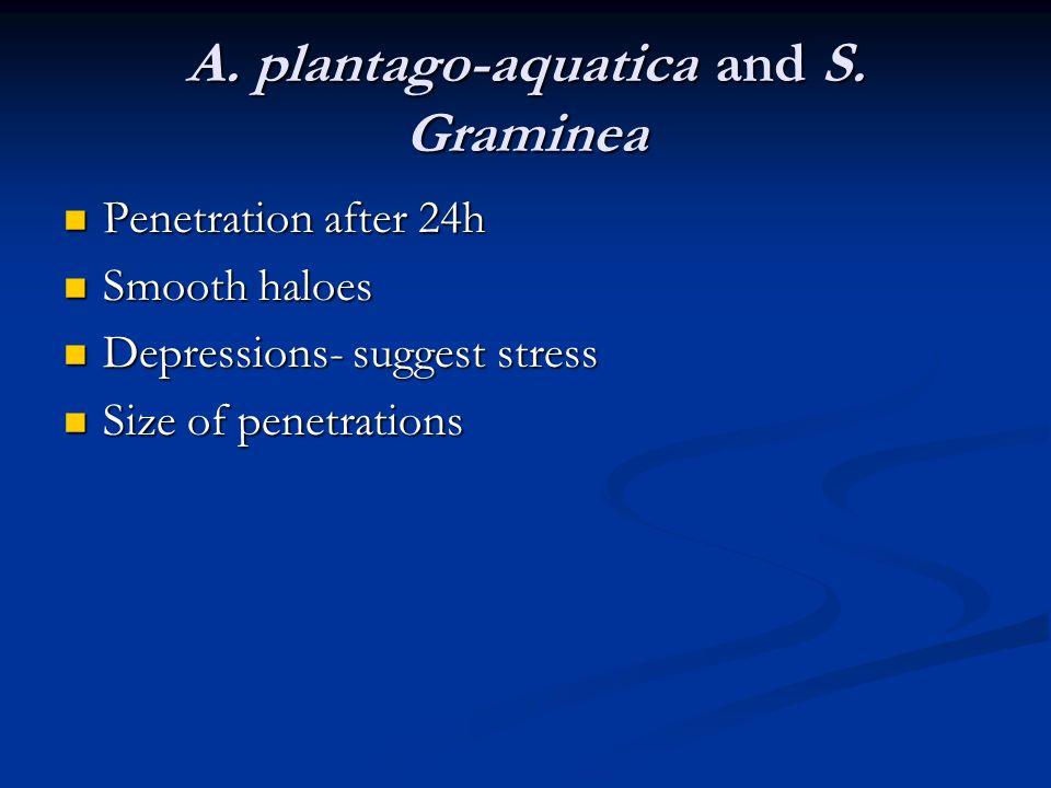 A. plantago-aquatica and S.