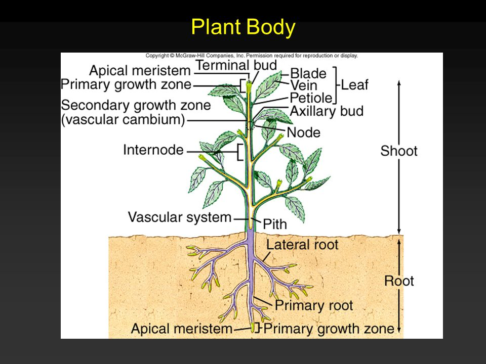 Organization of a Vascular Plant Meristems - Growth zones of unspecialized cells whose main function is to divide.
