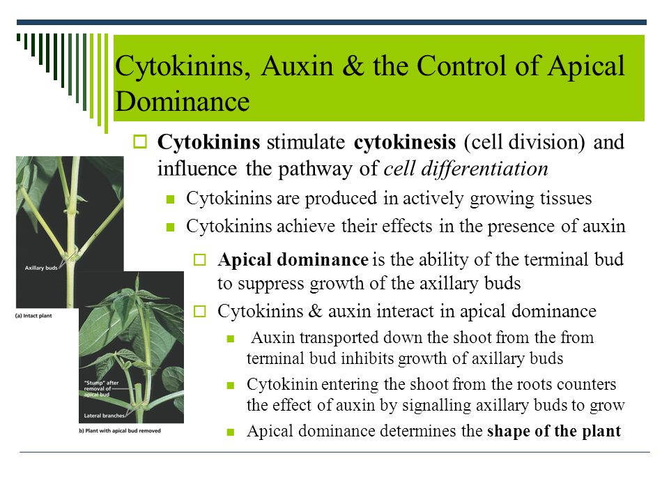 Cytokinins, Auxin & the Control of Apical Dominance  Cytokinins stimulate cytokinesis (cell division) and influence the pathway of cell differentiation Cytokinins are produced in actively growing tissues Cytokinins achieve their effects in the presence of auxin  Apical dominance is the ability of the terminal bud to suppress growth of the axillary buds  Cytokinins & auxin interact in apical dominance Auxin transported down the shoot from the from terminal bud inhibits growth of axillary buds Cytokinin entering the shoot from the roots counters the effect of auxin by signalling axillary buds to grow Apical dominance determines the shape of the plant