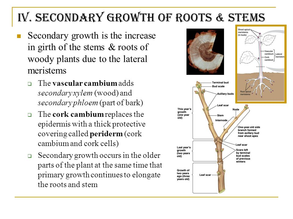 Secondary Growth of a Stem Figure 35.18!!