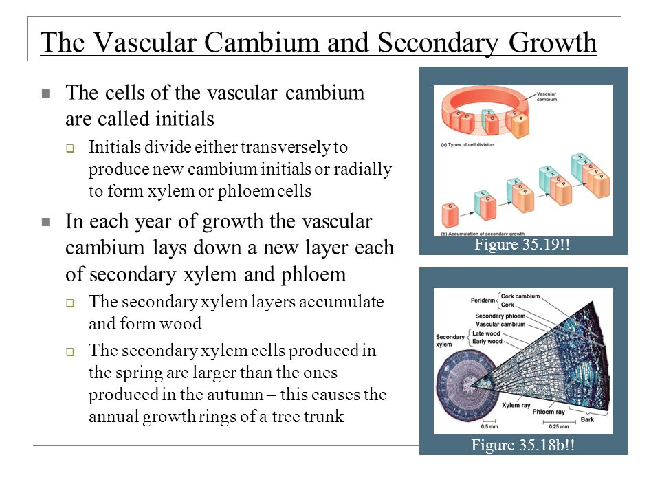 The Vascular Cambium and Secondary Growth The cells of the vascular cambium are called initials  Initials divide either transversely to produce new cambium initials or radially to form xylem or phloem cells In each year of growth the vascular cambium lays down a new layer each of secondary xylem and phloem  The secondary xylem layers accumulate and form wood  The secondary xylem cells produced in the spring are larger than the ones produced in the autumn – this causes the annual growth rings of a tree trunk Figure 35.19!.