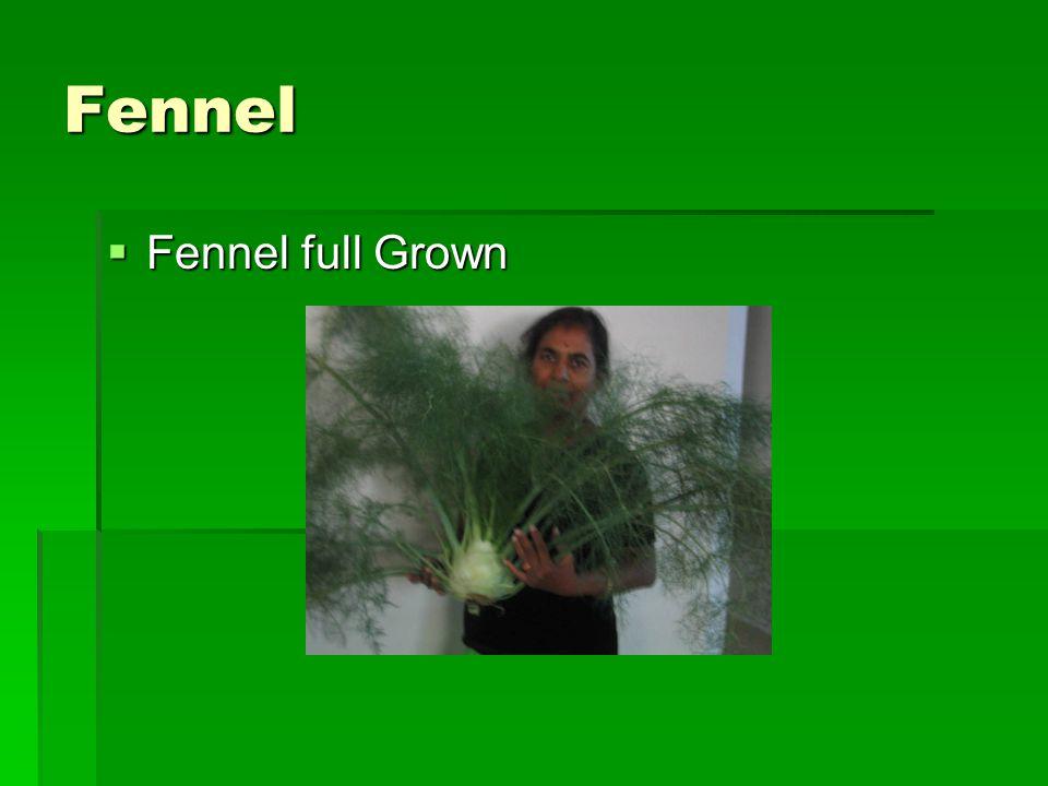 Fennel  Fennel full Grown