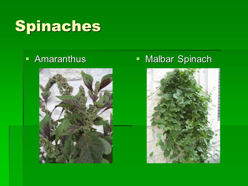 Spinaches  Amaranthus  Malbar Spinach