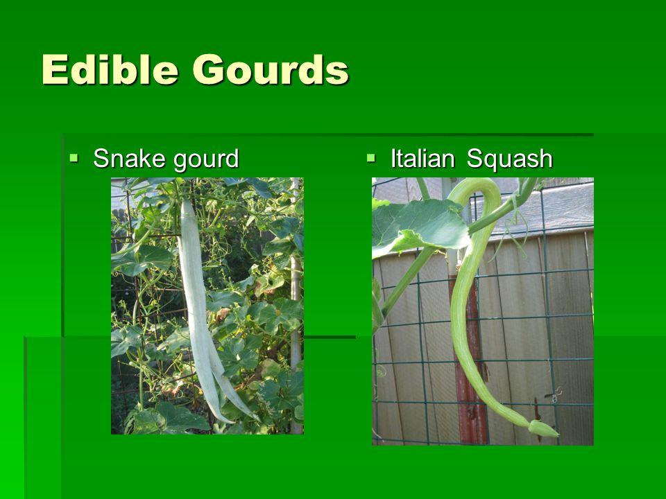 Edible Gourds  Snake gourd  Italian Squash