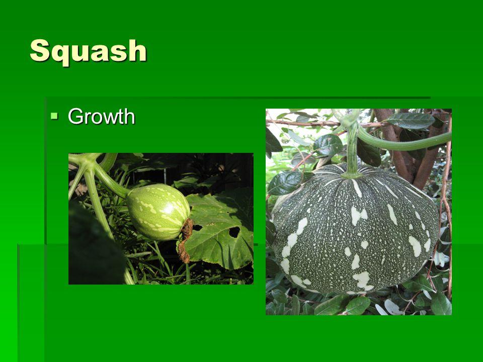 Squash  Growth