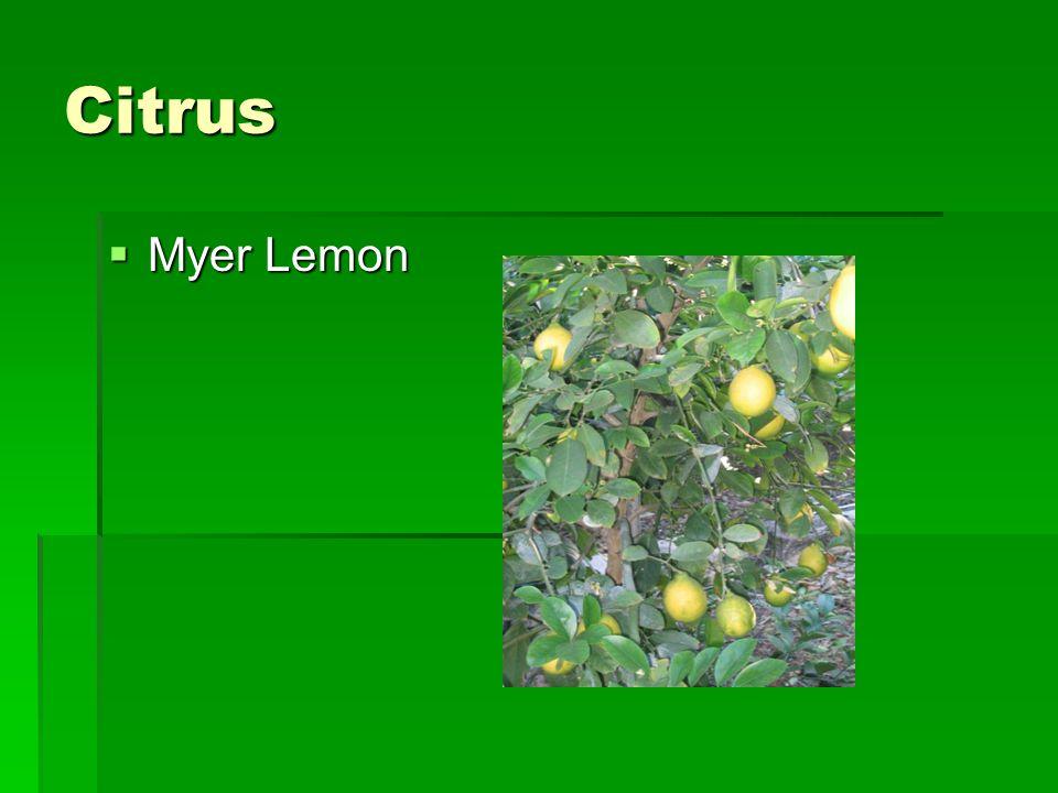 Citrus  Myer Lemon