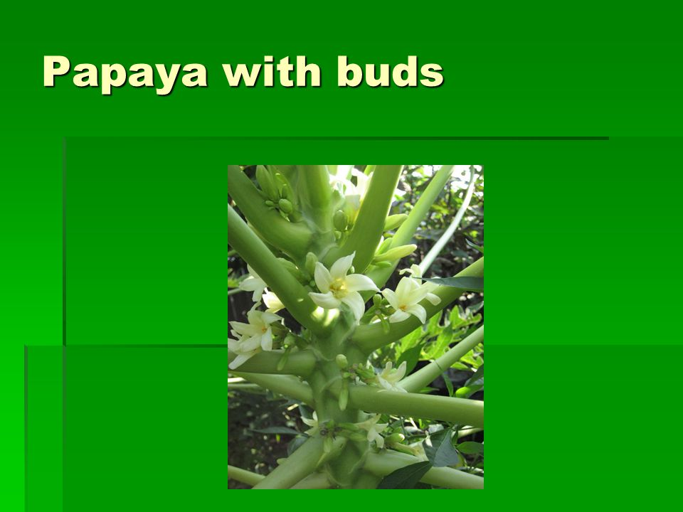 Papaya with buds