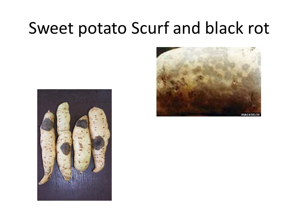 Sweet potato Scurf and black rot