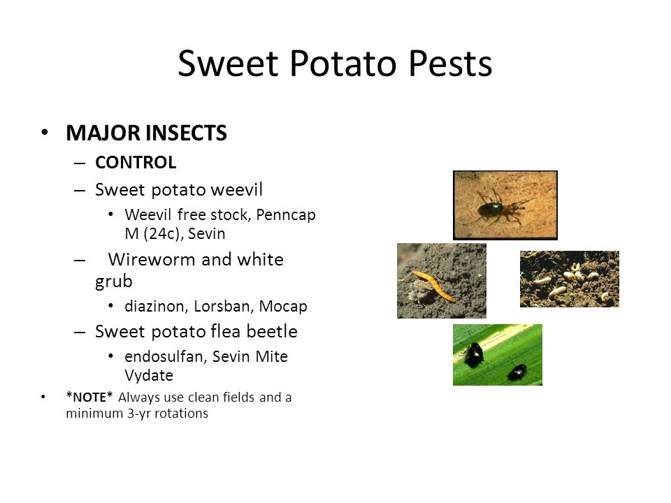 Sweet Potato Pests MAJOR INSECTS – CONTROL – Sweet potato weevil Weevil free stock, Penncap M (24c), Sevin – Wireworm and white grub diazinon, Lorsban, Mocap – Sweet potato flea beetle endosulfan, Sevin Mite Vydate *NOTE* Always use clean fields and a minimum 3-yr rotations